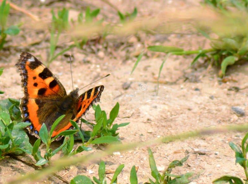 Красный адмирал бабочка стоковое фото rf