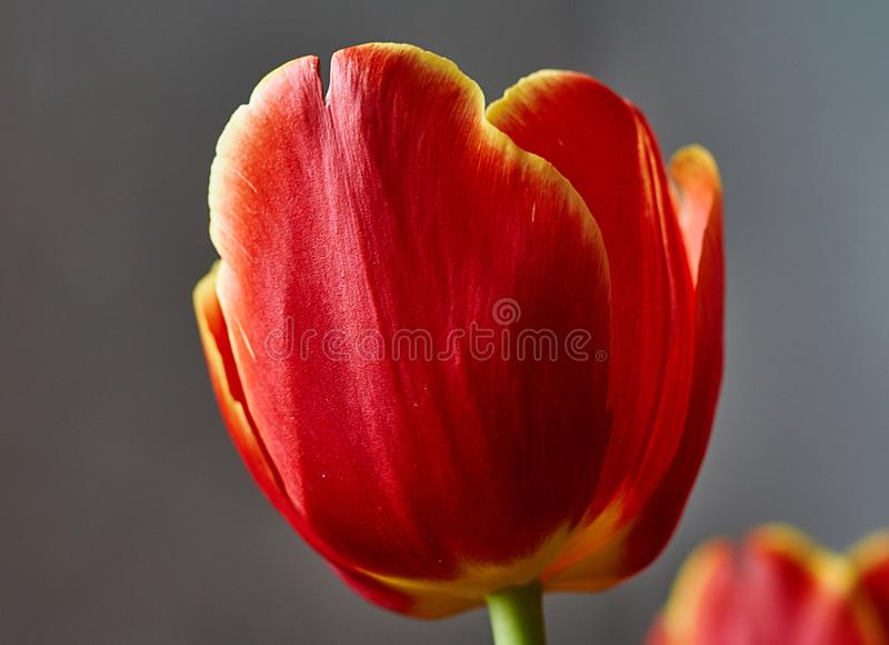 Красный бутон тюльпана Макрос Россия, Москва Подарок на день рождения стоковые изображения rf