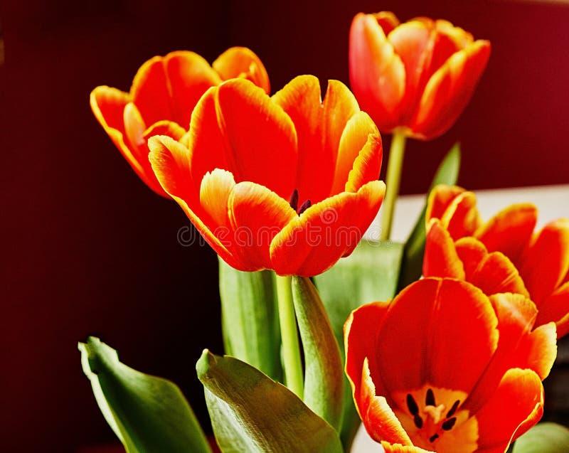 Красный бутон тюльпана Макрос Россия, Москва Подарок на день рождения стоковые фотографии rf