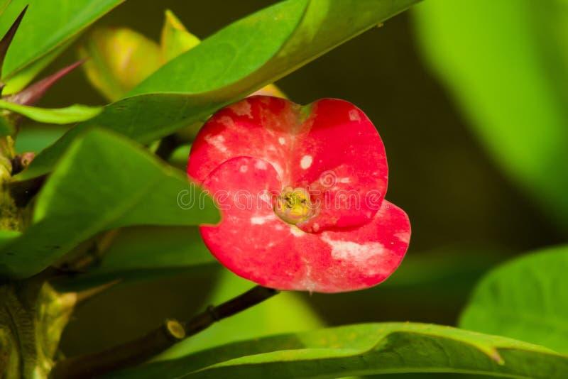Красный взгляд цветка более красивый с лучами солнца стоковое фото rf