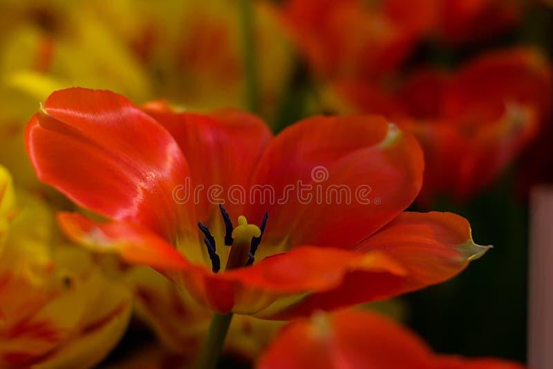 Красный вид Darwiorange тюльпана, красивый цветок весны, конец вверх, выборочный фокус стоковое изображение