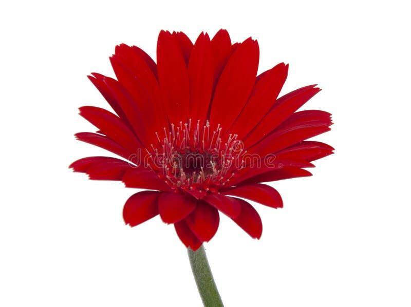 красный винтажный свежий цветок gerbera изолированный на белой предпосыл стоковое фото