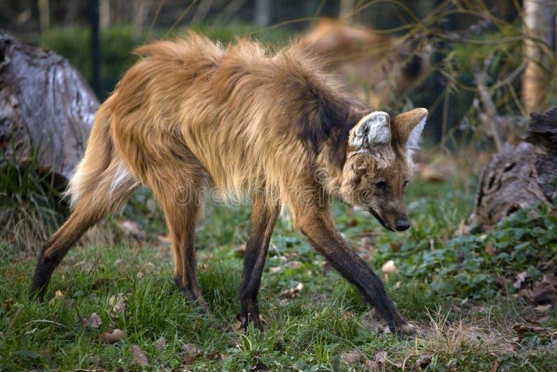 красный волк Стоковые Изображения RF