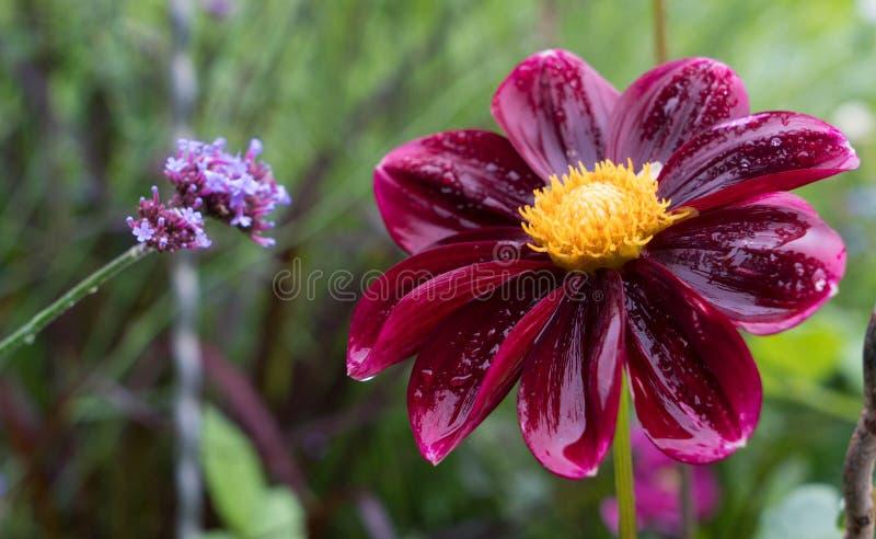 Красный георгин на красивой запачканной предпосылке в саде стоковая фотография