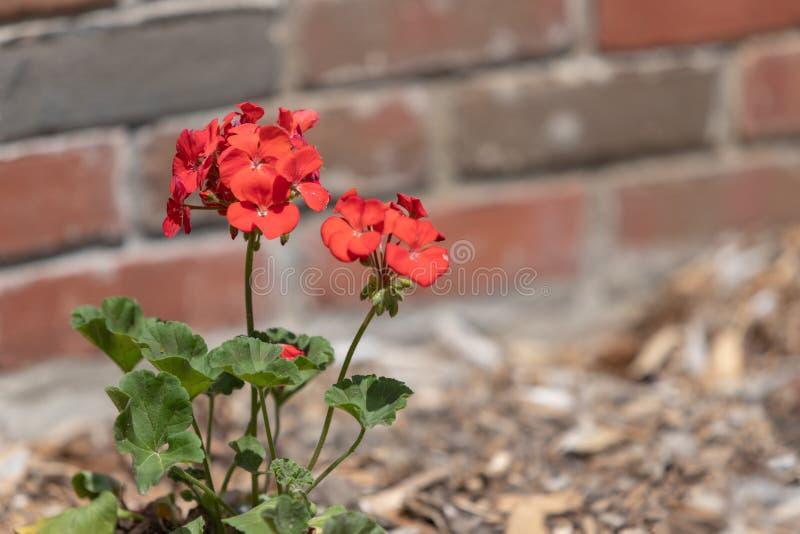 Красный гераниум в мульчированном цветнике стоковые фото