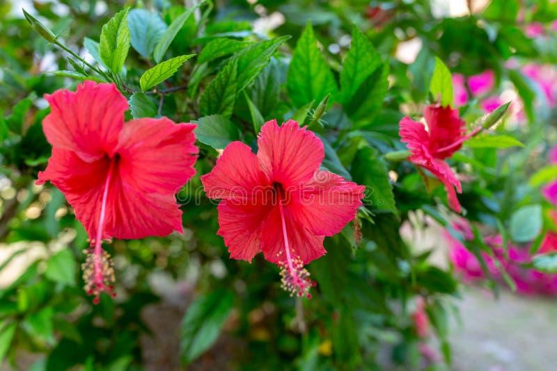 Красный гибискус Hawaiian цветка стоковые фотографии rf