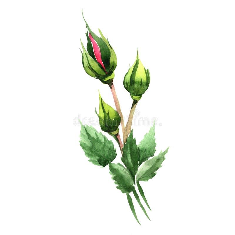 Красный гибрид поднял Флористический ботанический цветок Одичалый изолированный wildflower лист весны бесплатная иллюстрация