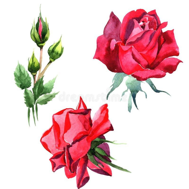 Красный гибрид поднял Флористический ботанический цветок Одичалый изолированный wildflower лист весны иллюстрация вектора