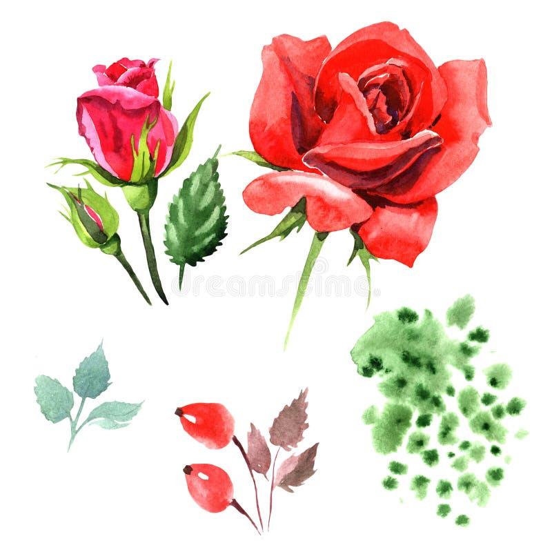 Красный гибрид поднял Флористический ботанический цветок Одичалый изолированный wildflower лист весны иллюстрация штока