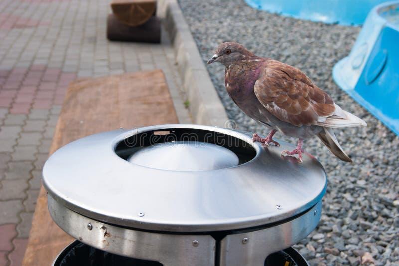 Красный голубь сидит на большой урне и поисках металла для что-то вкусного там Фото репортажа улицы r environmental стоковое изображение