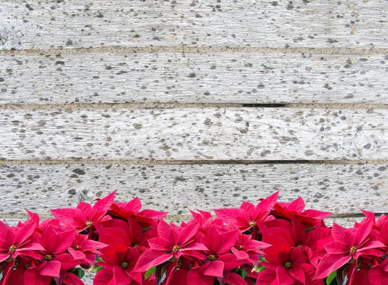 Красный допустимый предел poinsettia цветка рождества на деревянном променаде с дождевыми каплями стоковые изображения
