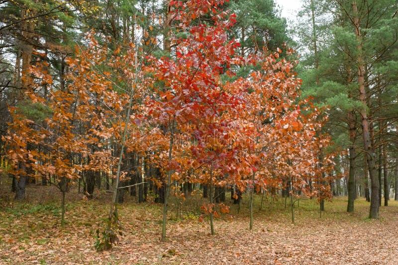 Красный дуб в последней осени стоковое изображение rf
