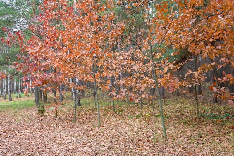 Красный дуб на крае леса стоковые фотографии rf