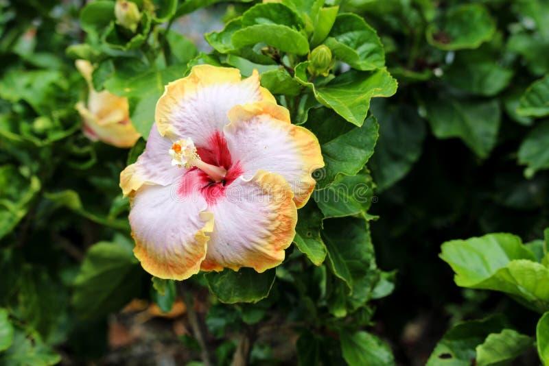 Красный желтый цвет тела пинка центра окаймляет гибридный цветок гибискуса стоковая фотография rf