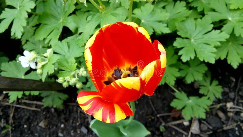 красный желтый цвет тюльпана стоковые изображения rf