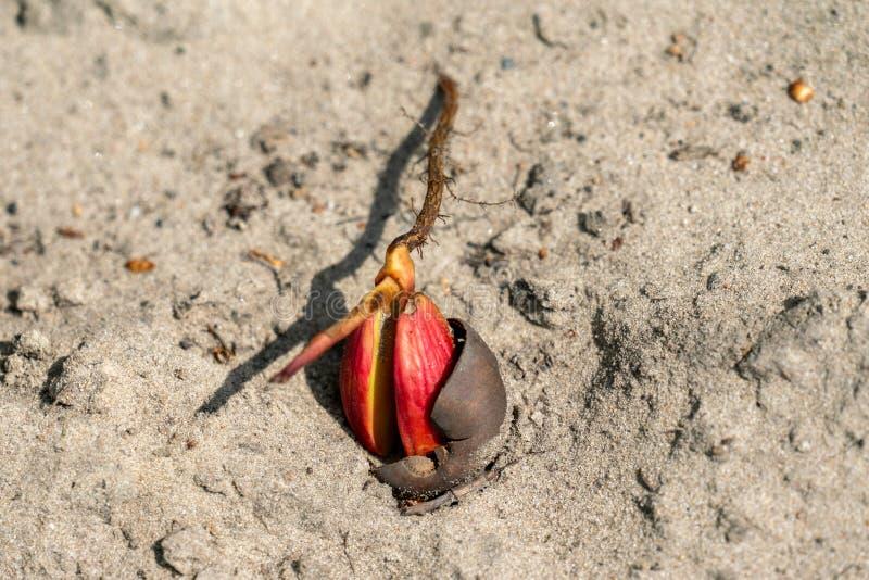 Красный жолудь на песочной земле стоковые фотографии rf