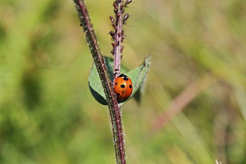 Красный жук стоковое изображение rf