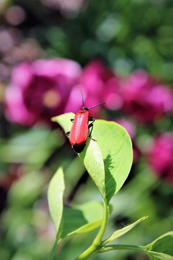 Красный жук стоковое фото