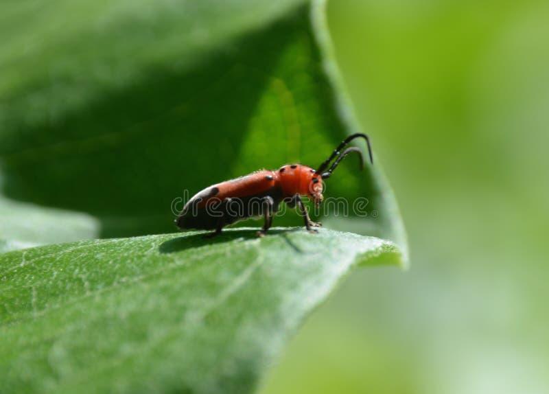 Красный жук Milkweed стоковые изображения rf