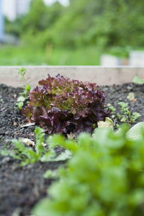 Красный завод салата в огороде стоковые фото