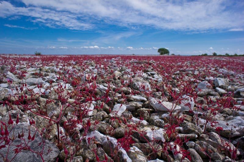 Красный завод Робина, луг в скалистой почве стоковые изображения