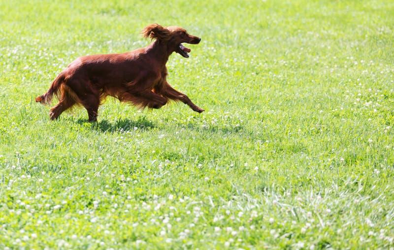 Красный ирландский сеттер бежать на траве стоковое фото