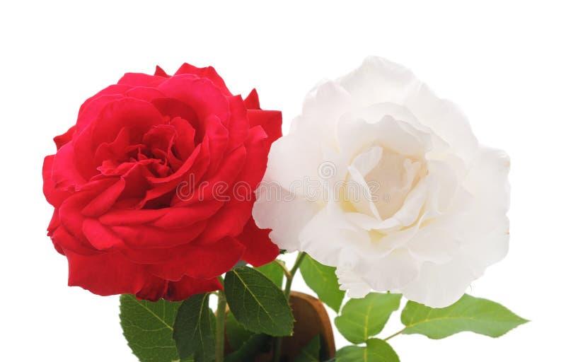Красный и белая роза стоковая фотография rf