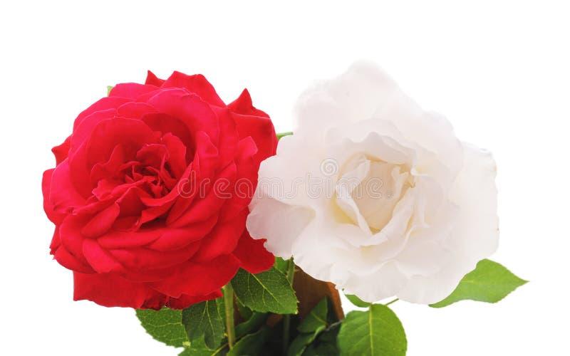 Красный и белая роза стоковые фото