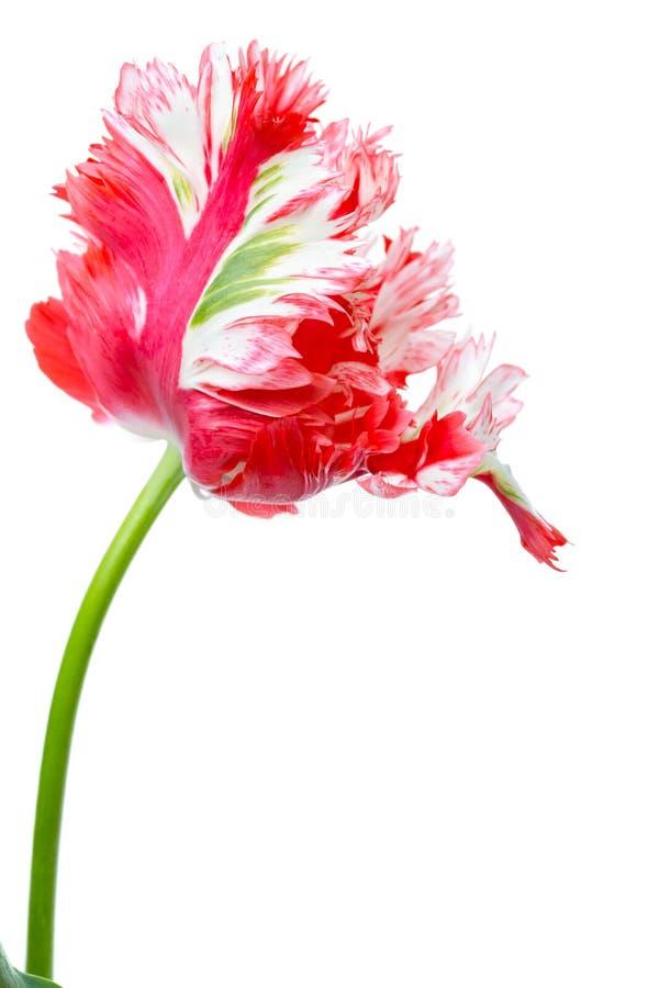 Красный и белый тюльпан попыгая стоковые фотографии rf
