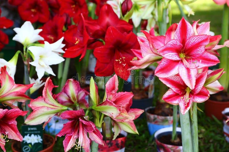 Download Красный и белый цветок амарулиса в саде Стоковое Фото - изображение насчитывающей тропическо, амаранта: 81814016