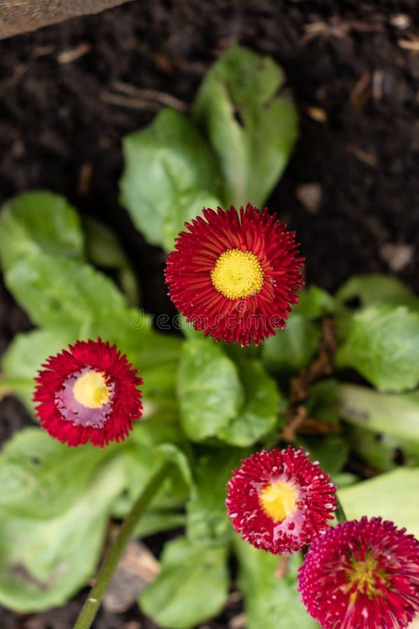 Красный и желтый цветок стоковые фотографии rf