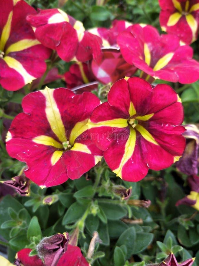 Красный и желтый цветок стоковые фото