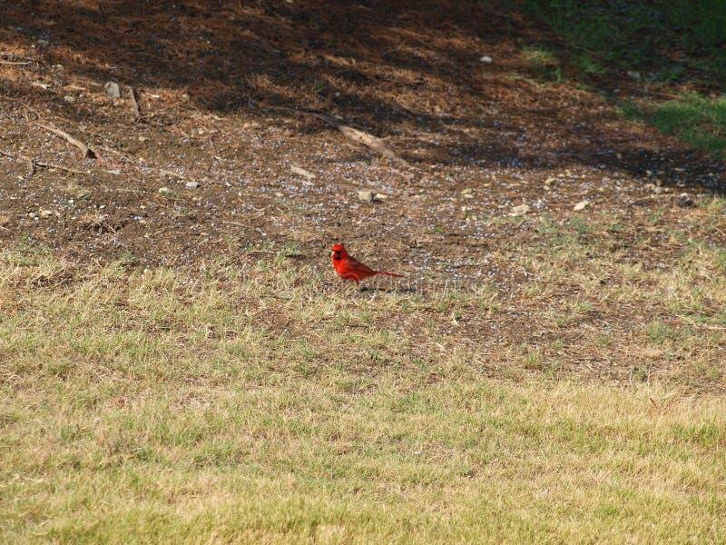 Красный кардинальный мужчина интересуемый в щелкать камеры стоковая фотография