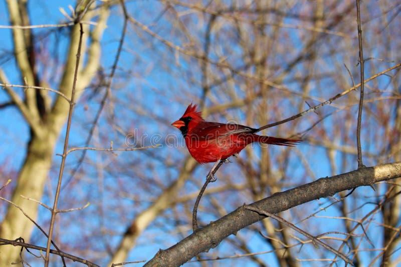 Красный кардинал на Central Park в весеннем времени стоковые фото