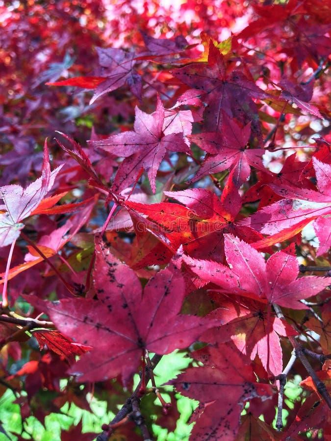 Красный кленовый лист в сезоне осени стоковая фотография