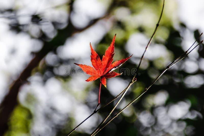 Красный кленовый лист на безлистной ветви стоковые изображения