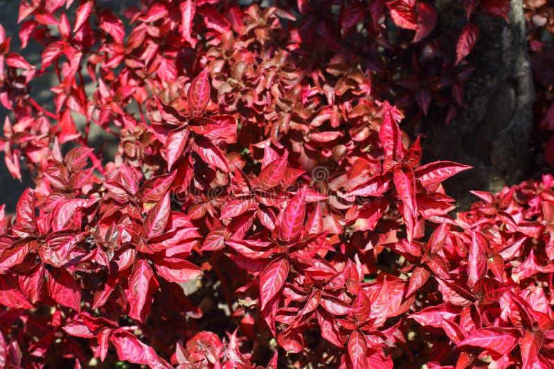 Красный кленовый лист цветков в улице стоковые фото