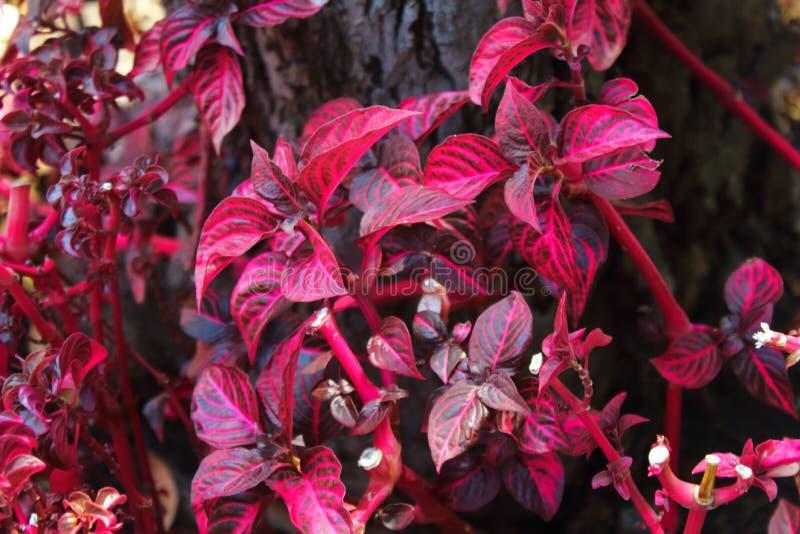 Красный кленовый лист цветков в улице стоковые фотографии rf