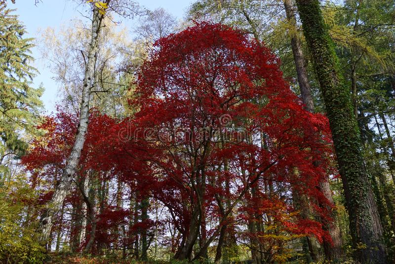 Красный клён - осень стоковая фотография rf