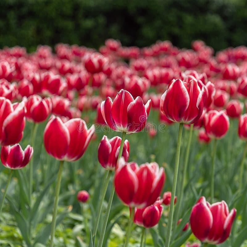 Красный конец-вверх тюльпанов на цветнике с нерезкостью стоковое фото rf