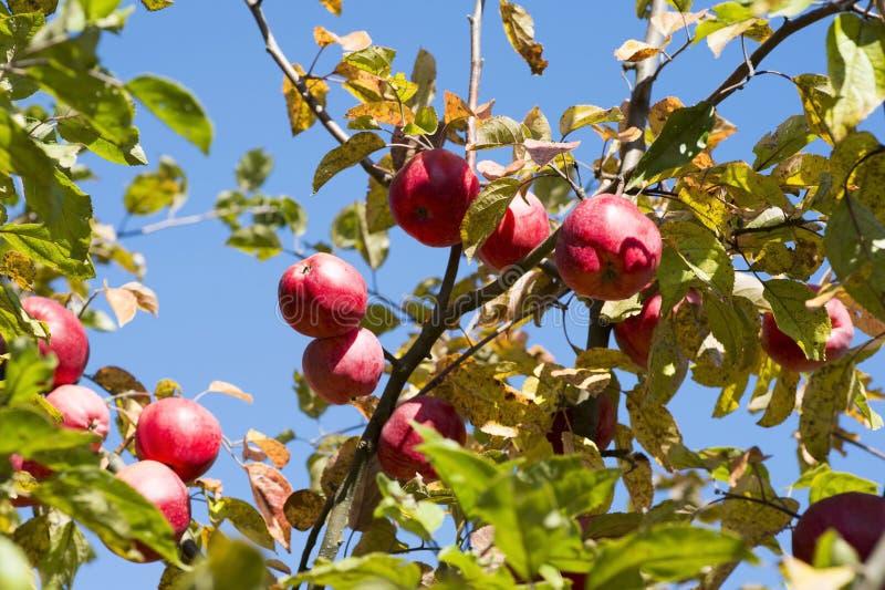 Красный конец-вверх яблок вися на ветвях яблони осенью Справочная информация стоковое фото