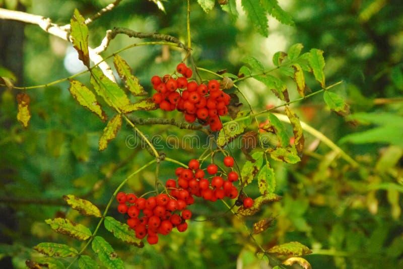 Красный конец-вверх ягод рябины на ветви среди зеленых листьев стоковые фото