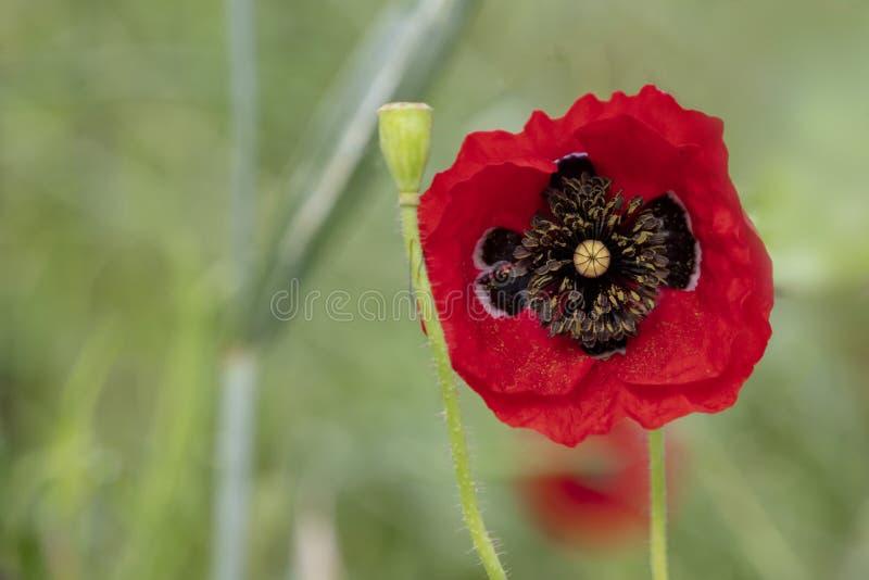 Красный конец головы цветка мака вверх на запачканной зеленой предпосылке стоковое изображение