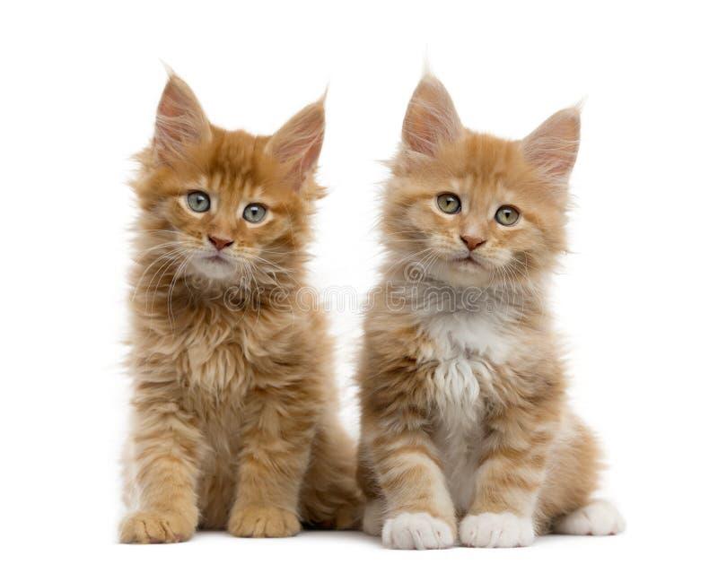Красный котенок енота Мейна изолированный на белизне стоковая фотография rf