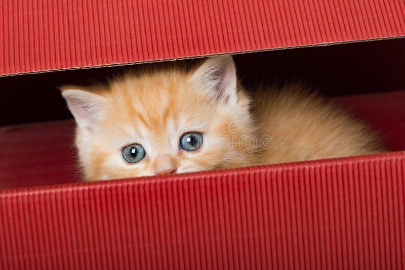 Красный котенок shorthair британцев сидя в коробке стоковая фотография rf