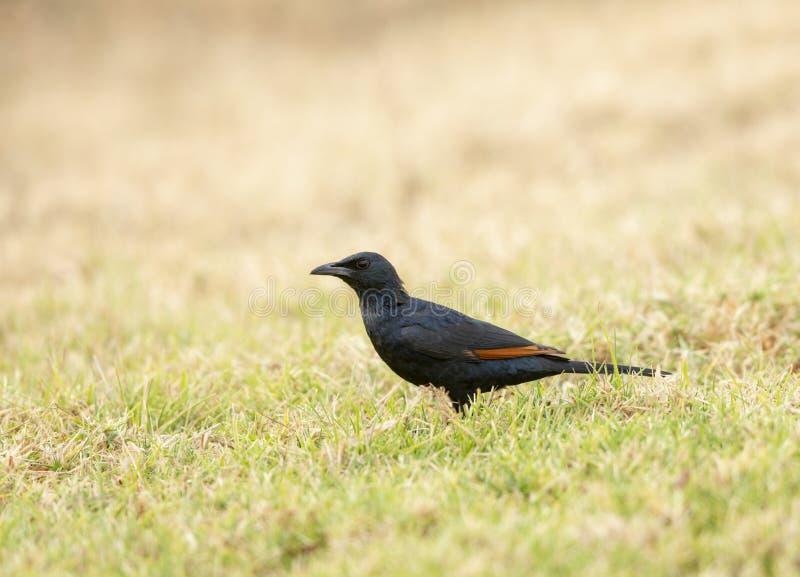 Красный, который подогнали Starling увиденный на Masai Mara стоковые фотографии rf