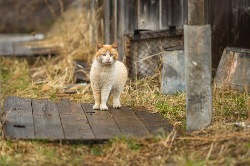 Красный кот в дворе сельского дома Природа стоковая фотография rf