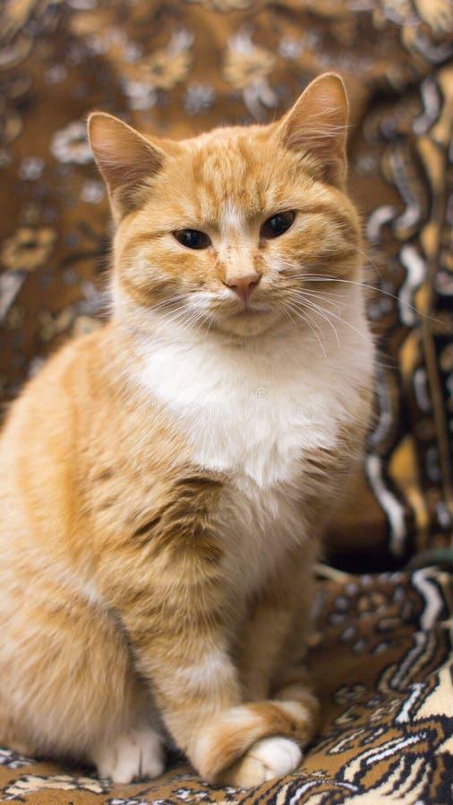 Красный кот сидя и смотря камера стоковое фото