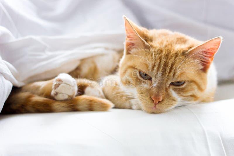 Красный кот спать на мягком белом одеяле, конец-вверх, уютная концепция стоковые фотографии rf
