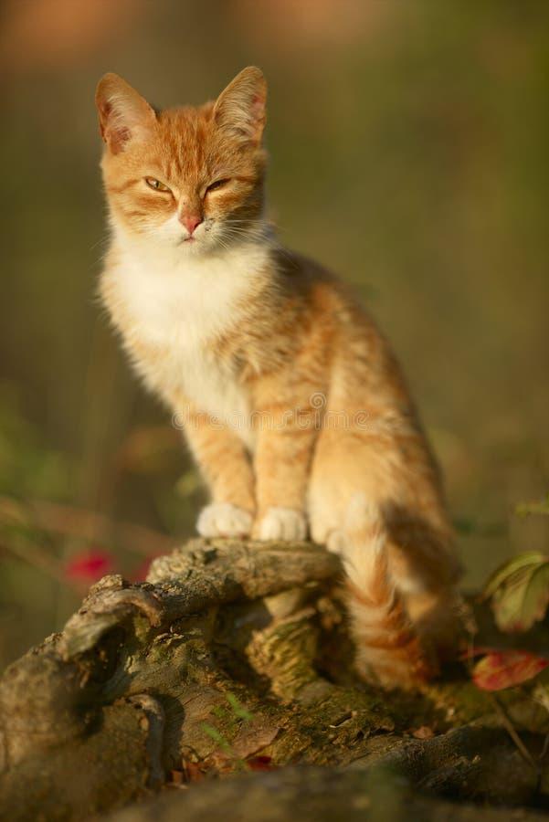 Красный кот стоковые фотографии rf